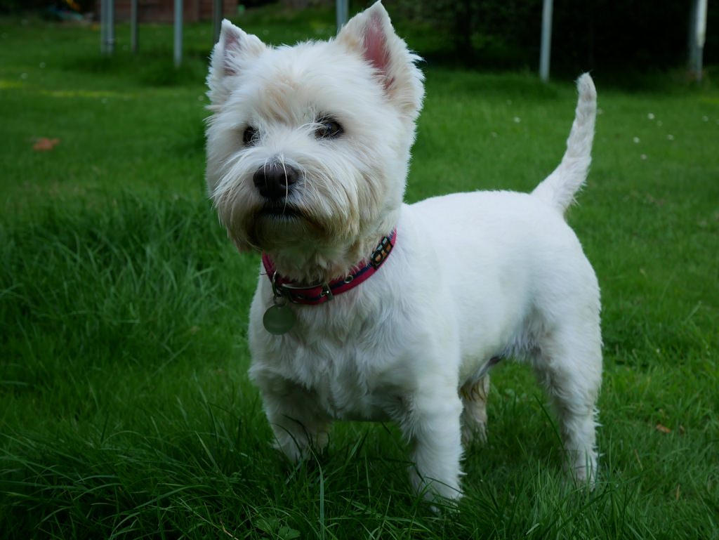 The cute Westies come from West Highland, which you can explore on the West Highland Way