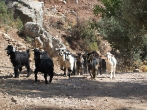 Lycian Way - Goats on the road in Kozağaç