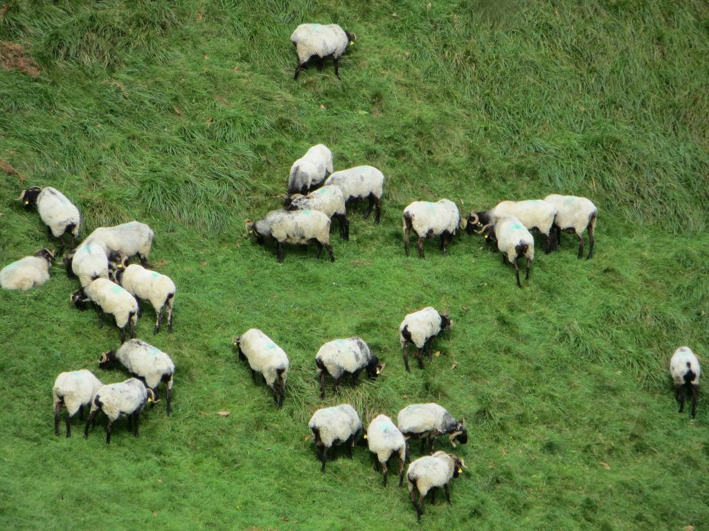 Bunch of sheep on the Camino de Santiago.