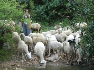 Lycian Way - Sheep on the trail between Üzümlü and Akbel